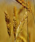 grain-1503406_960_720