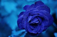 rose-165819_1280