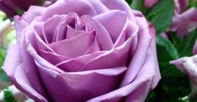 rose-428881_1280
