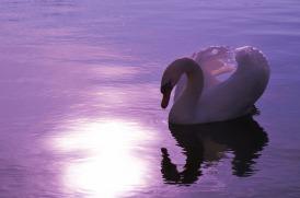 swan-1229503_1280